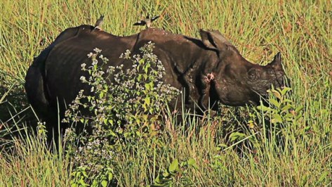 North East Rhino