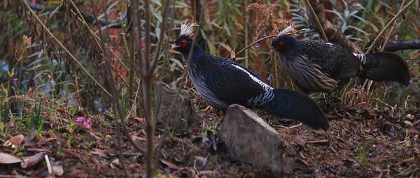 Junle fowl